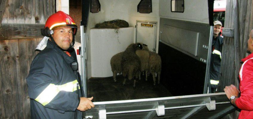 Vier Schafe auf gefährlicher Flucht